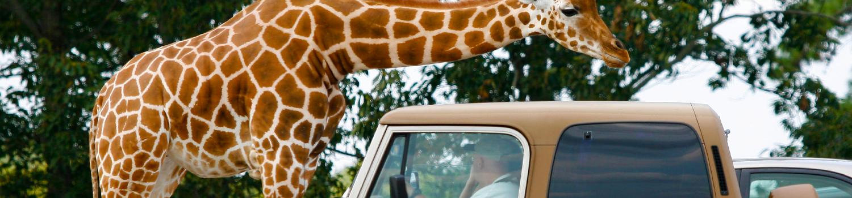 Giraffe above Jeep