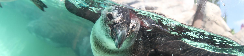 Penguin swimming underwater