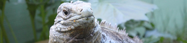 Reptile Discovery - Iguana