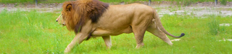 Safari Off Road - Lion