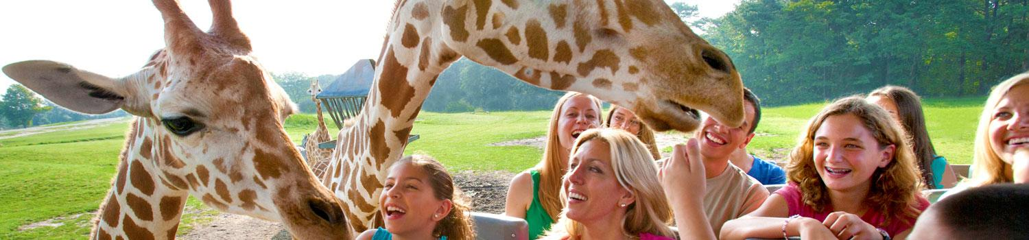 Guests meeting giraffes on a safari adventure