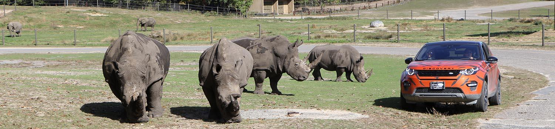Safari Tour with rhinos