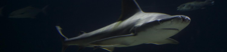 Pepe the nurse shark