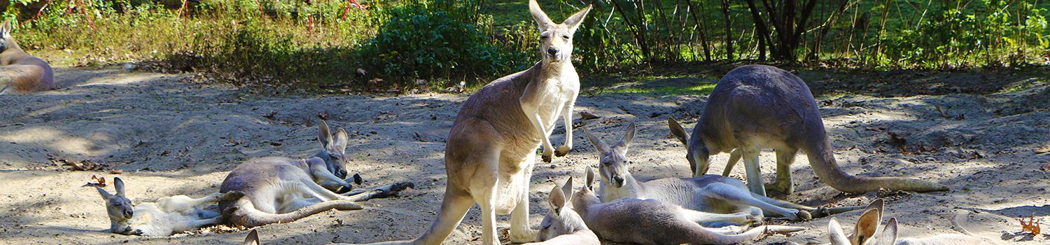 Kangaroos laying in sand