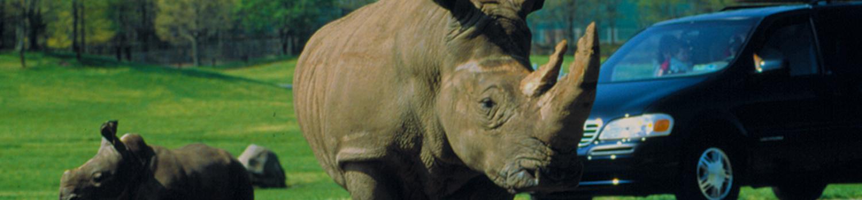 Rhinos on road with Minivan