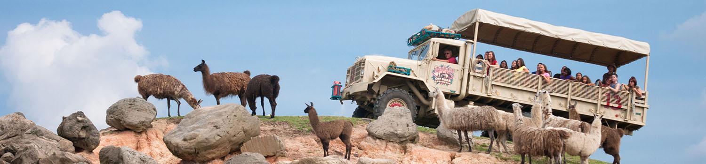 Llamas with safari truck on hill