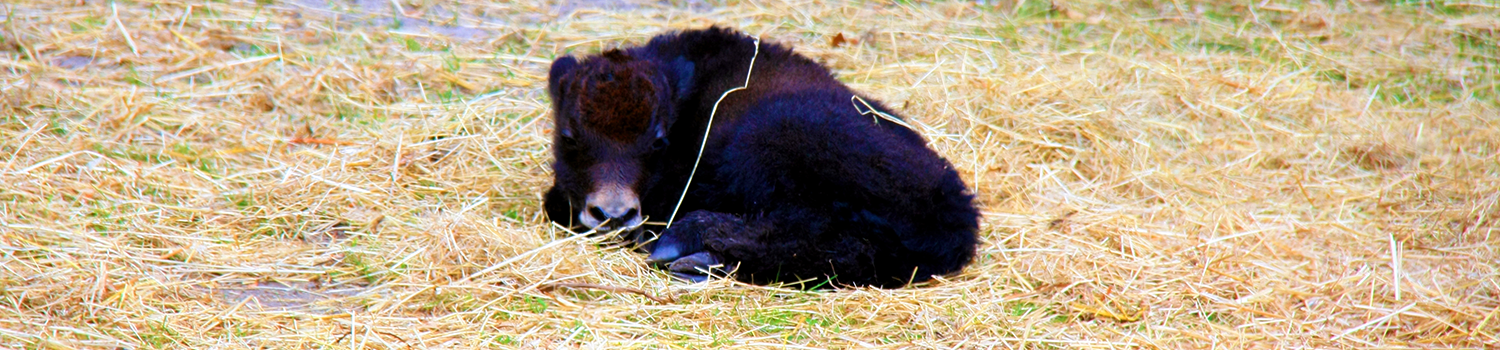 Baby yak laying in hay