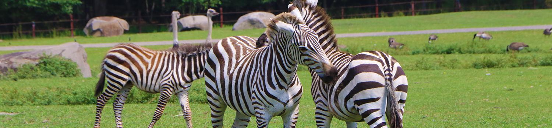 zebras standing in grass